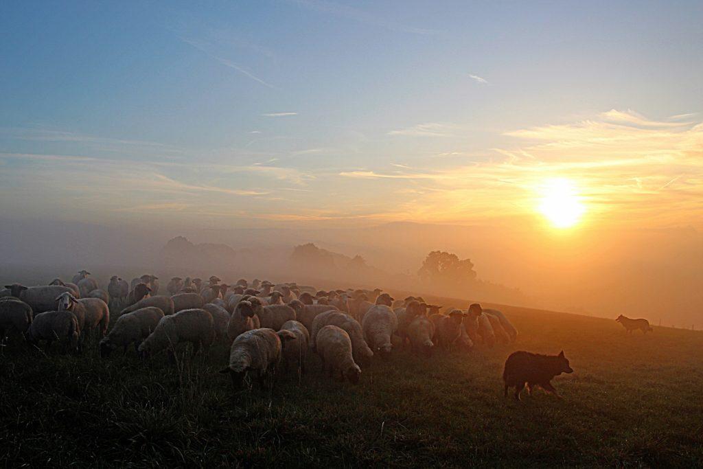 Eine Schafsherde bewacht von Schäferhunden
